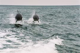 The CRRU bottlenose dolphin project first began in July 1997.