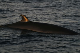 North Atlantic minke whale. These small rorquals are found in high numbers throughout the northern North Sea.