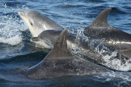 Bottlenose dolphins are robust coastal delphinids with a cosmopolitan distribution. The population in the Moray Firth represent the species at the very northern extreme of its range.