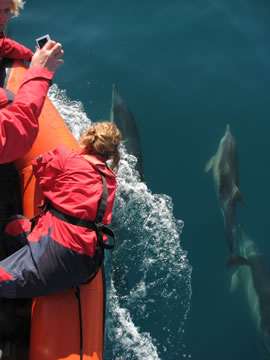 Common dolphins riding the bow of CRRU research boat