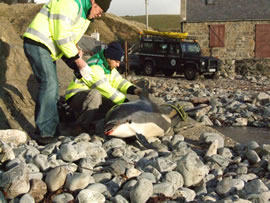 Atlantic white-sided dolphin stranding in Crovie