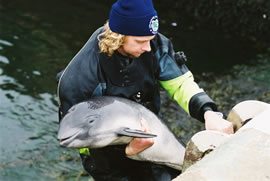 The recovery of a harbour porpoise that had been attacked by bottlenose.