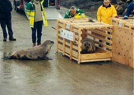 Hooded seals released from Caithness