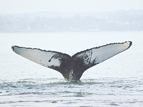 Firth of Forth humpback call-out