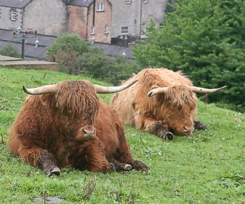 When the weather got bad, distilleries and wooly coos often saved the day